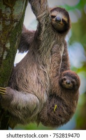 A brown-throated sloth  (Bradypus variegatus) is a 3-toed sloth. They are mostly living in high trees within rain forests. Although this mother was coming down to the ground with her baby.