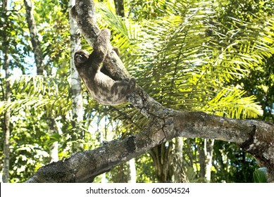 Brown-throated sloth (Bradypus variegatus), photographed in Sooretama, Espí­rito Santo - Southeast of Brazil. Atlantic Forest Biome.