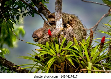 Brown-throated sloth - Bradypus variegatus - a species of three-toed sloth with its young in a tree image taken in the rain forest of Panama