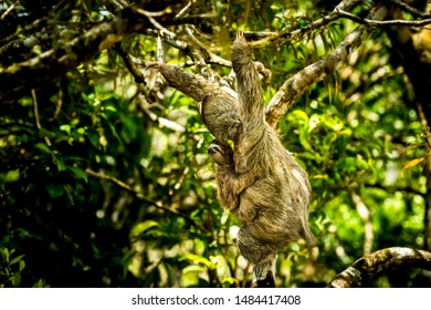 Brown-throated sloth a species of three-toed sloth with its young climbing up a  tree, image taken in the rain forest of Panama