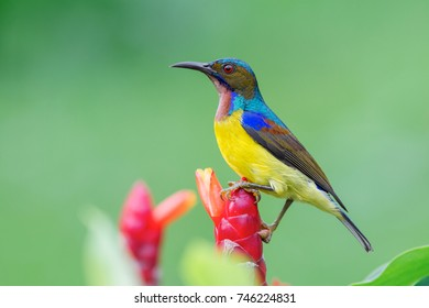 Brown-throated Sunbird (Anthreptes malacensis) - Adult Male - Bangkok, Thailand