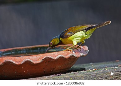 The brown-throated sunbird (Anthreptes malacensis), also known as the plain-throated sunbird, is a species of bird in the Nectariniidae family. It is found in Thailand.bird is drinking water.