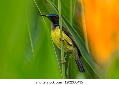 Brown-throated Sunbird (Anthreptes malacensis) male, perch on flower twigs at nature habitat. Brown-throated Sunbird is a species of bird in the Nectariniidae family. Nature wildlife