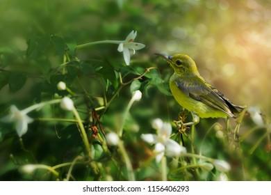 Brown-throated Sunbird or Plain-throated sunbird (Anthreptes malacensis),  female bird perching on Millingtonia hortensis flower or Indian cork tree. Sunbird resting on Millingtonia hortensis flower
