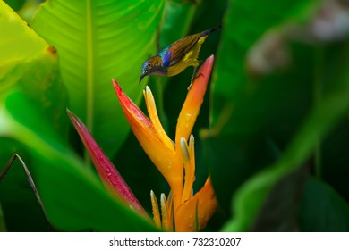 Brown-throated sunbird or Plain-throated sunbird ,(Anthreptes malacensis), adult male in brilliant plumage drinking nectar from Heliconia flower,Thailand. Sunbird drinking nectar on Heloconia flower.