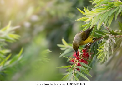 Brown-throated sunbird, Plain-throated sunbird, female bird feeding nectar on Red Bottlebrushes or Callistemon flower, Phuket, Thailand. Cute Sunbird feeding nectar on Red Bottlebrushes