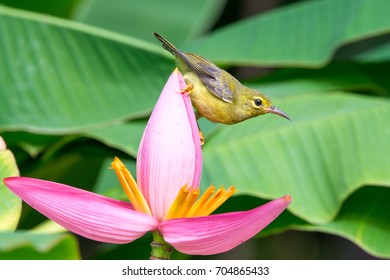 Brown-throated Sunbird or Plain-throated Sunbird on Flowering banana with green blur background
