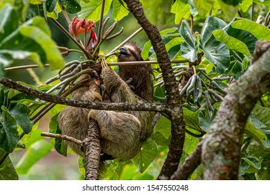 Brown-throated three-toed sloth feeing in a Cecropia peltata tree