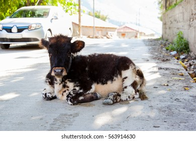 Brown-white colored calf (cow) is lying on the road on a sunny summer day