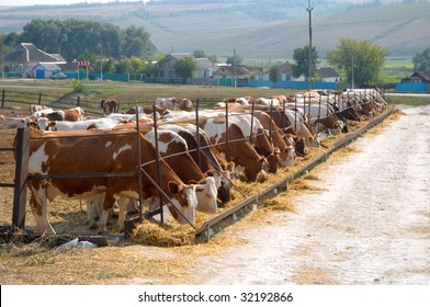 brown-white cows eating hay on open air feeding trough