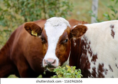 Brown/white heifer eating of a bush