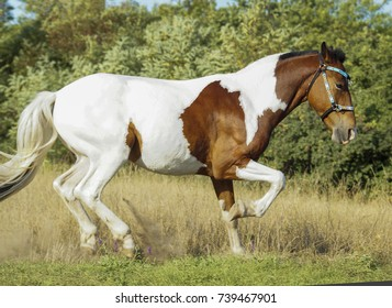 a brown-white horse runs across the field in the background of trees