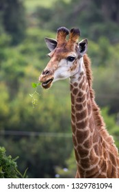 A browsing Giraffe with green leaves in it's mouth