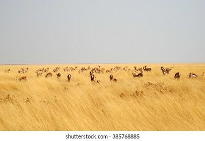 Browsing springboks in yellow grass