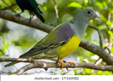 Bruce's green pigeon (Treron waalia) is a species of bird in the family Columbidae.  			A frugivore bird species that specialises on eating the fruits of a single species of fig tree, Ficus platphylla.