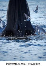 Bruda whales