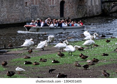 Bruges, Belgium - August 13, 2018: Tourists from a canal trip boat take pictures of swans, protected animals, tourists attraction in Bruges, Belgium.
