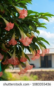 Brugmansia, dhatura flowers hanging on tree