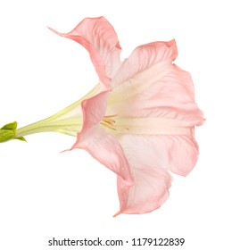 Brugmansia flower in front of white background