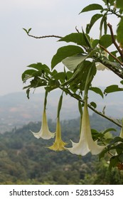 Brugmansia flower on the mountain