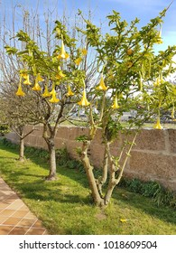 Brugmansia tree in a garden with yellow trumpet flowers hanging.