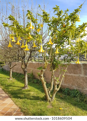 Brugmansia tree garden yellow trumpet flowers stock photo edit now brugmansia tree in a garden with yellow trumpet flowers hanging mightylinksfo