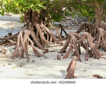 Bruguiera gymnorrhiza knee roots