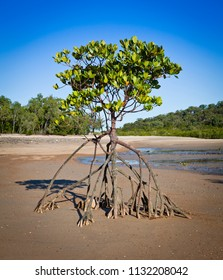 Bruguiera Tree on a beach with tide out. Mangrove roots cling to the sand.