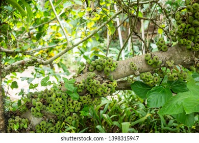 Brumadinho/Minas Gerais/Brazil - NOV 01 2017: Green fruits of trees of Institute Inhotim