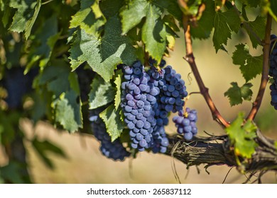 Brunello grapes, Montalcino, Tuscany