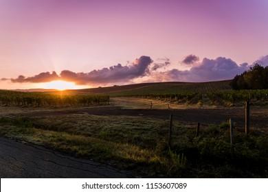 a Brunello vineyard at sunrise
