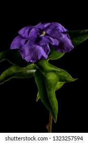 brunfelsia flower macro