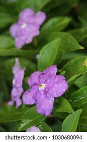 Brunfelsia flower violet