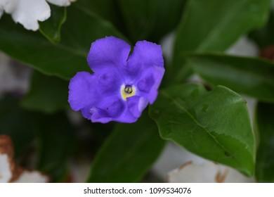 """/ Brunfelsia latifolia"""""""