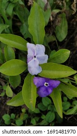 Brunfelsia latifolia, commonly known as yesterday-today- tomorrow and kiss me quick,is a species of flowering plant in the nightshade family. Shrub, pale purple Coloured flowers