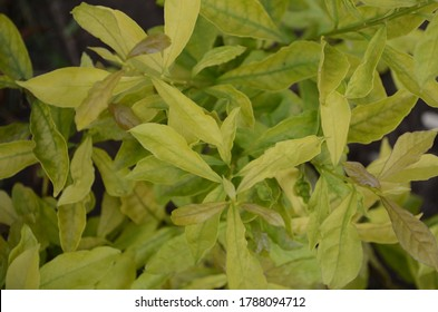 Brunfelsia latifolia, commonly known as yesterday-today- tomorrow and kiss me quick,is a species of flowering plant in the nightshade family. Shrub. Yellowish green leaves.