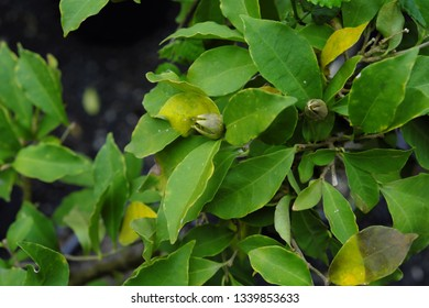 Brunfelsia pauciflora (2019)