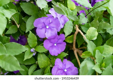 Brunfelsia pauciflora or calycina, Jasmine of Paraguay, is a phanerogamic species native to the Paraguayan forest Known as the National Flower of Paraguay