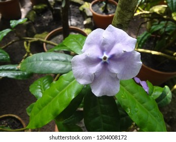 Brunfelsia pauciflora flower (yesterday-today-and-tomorrow, morning-noon-and-night, Kiss Me Quick, and Brazil raintree)