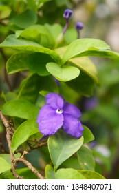 Brunfelsia pauciflora plant with purple flower