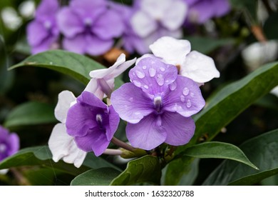 Brunfelsia pauciflora purple lilac Snow White flower tree with drops of water
