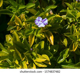 Brunfelsia pauciflora  a species of flowering plant in  family Solanaceae, nightshades endemic to Brazil, or  yesterday-today-and-tomorrow, morning-noon-and-night, Kiss Me Quick,  Brazil raintree.