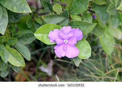 Brunfelsia pauciflora, Yesterday-today-and-tomorrow, Morning-noon-and-night, Kiss Me Quick, shrub with leathery leaves and purple flowers with white throat, fading to lavender and finally white.