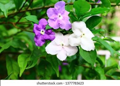 Brunfesia hopeana Benth (Solanaceae), Yesterday Today and Tomorrow