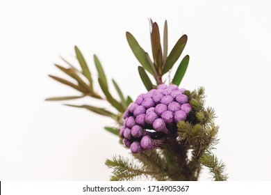 Brunia plant and green branches on white background with copy space. Unusual creative flower. Home decor. Painted brunia flowers in purple color