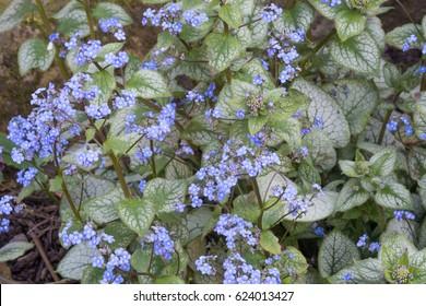 Brunnera macrophylla 'Jack Frost' in flower