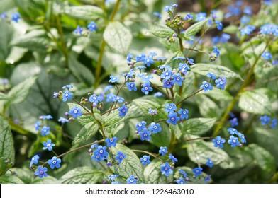 brunnera macrophylla jack frost or siberian bugloss plant