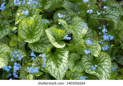Brunnera macrophylla, Jack Frost,  with small blue forget me not flowers and  variegated leaves