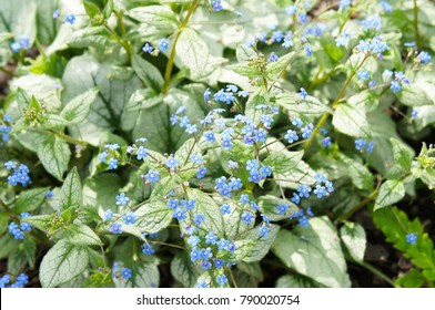 Brunnera macrophylla or siberian bugloss or great forget-me-not or largeleaf brunnera or heartleaf jack frost green plant with blue little flowers