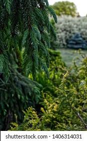 Bruns weeping serbian spruce (picea omorica `Pendula bruns`)